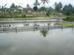 kolam budidaya lobster air tawar di garut