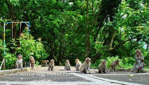 Monyet monyet goa kreo semarang