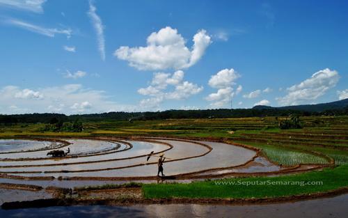 gambar pemandangan alam petani sedang membajak sawah